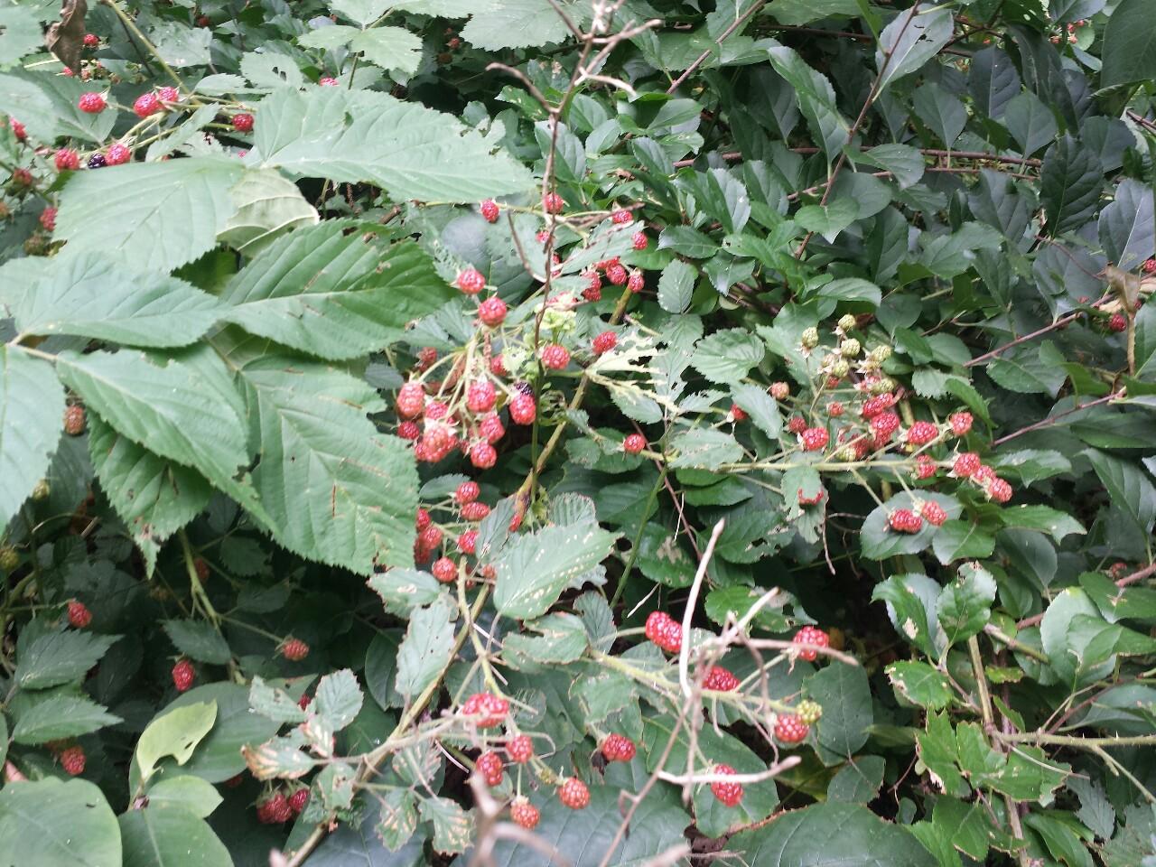 Unripe Strawberries Summer Foraging...