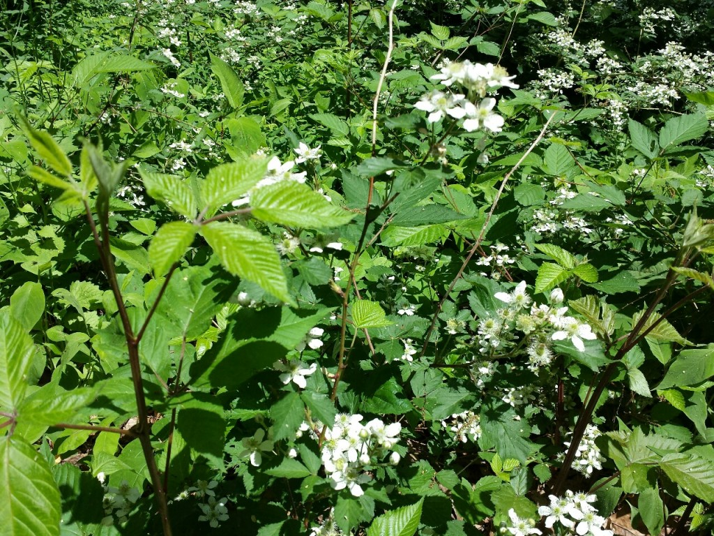 flowering berry bushes